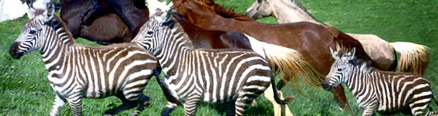 Zebras and Horses image